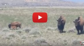 Video: First Bison Calf Is Born on Wind River Reservation