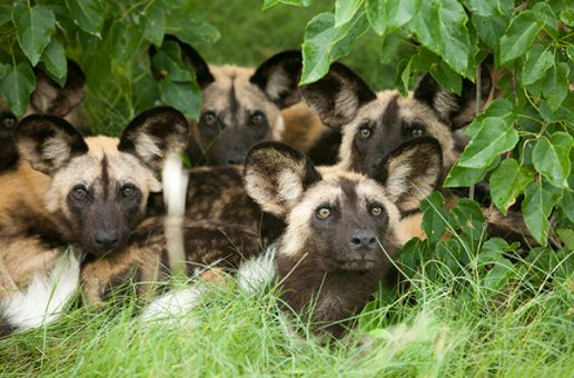 African Wild Dogs Are the First Heat-Adapted Species Shown to Be Suffering from Climate Change