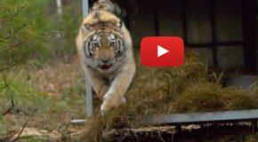 Videos: Watch Tigers Being Released into the Wild