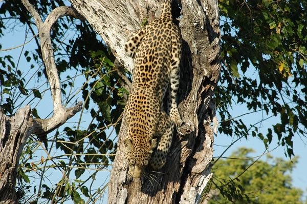 Leopard near Abu Camp, Botswana