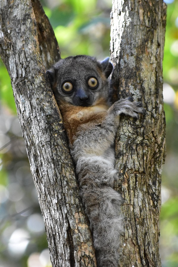Big-eyed Lemur, Madagascar