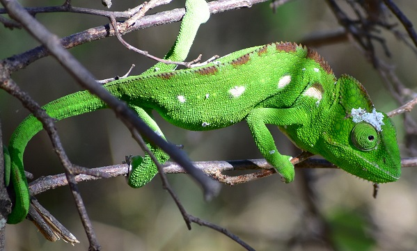 Lizard in Madagascar