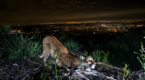 Study Shows That Mountain Lions Fear the Sound of Human Voices