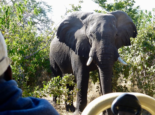 Elephant encounter in Botswana