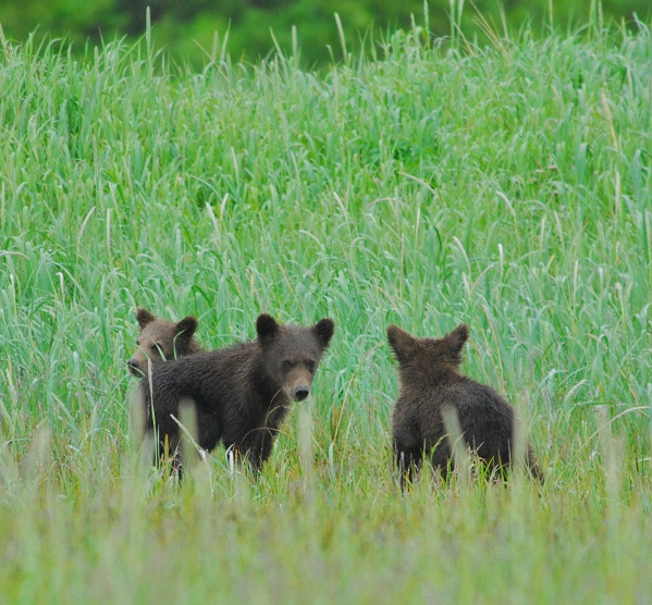 Brown bear cubs in Alaska