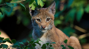 Could Reintroducing Lynx to Great Britain Revive Ecotourism?