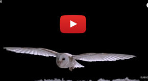Halloween Video: the Silent Flight of Owls