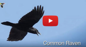 "Bird Video: The ""Caw"" of a Crow and the ""Kraa"" of a Raven"