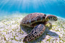 Belize Shells Up Turtle Protection