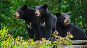 Wildlife Photo of the Week: Black Bear Triplets