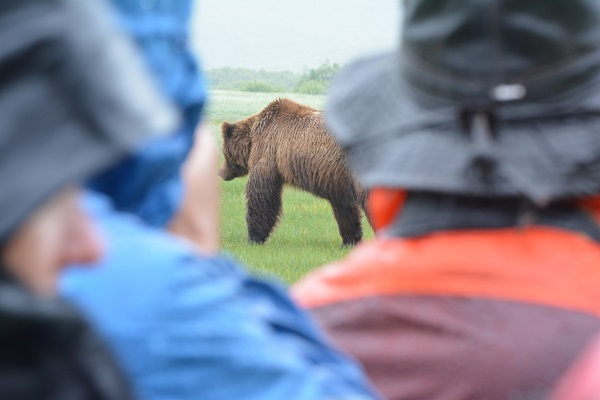 Walking with wild bears