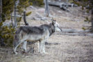 Ranching in Wolf Territory: A New Approach