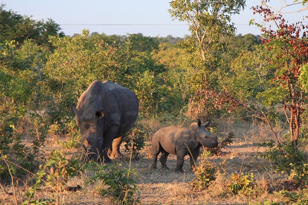 Rhino mother and calf in Botswana