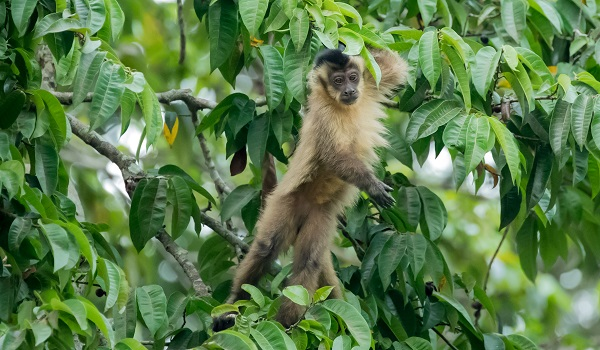 Wild monkey in the Brazlian Pantanal