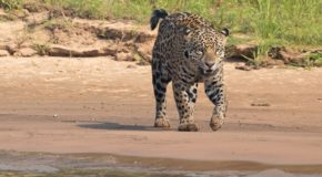 Jaguars & Wildlife of Brazil's Pantanal
