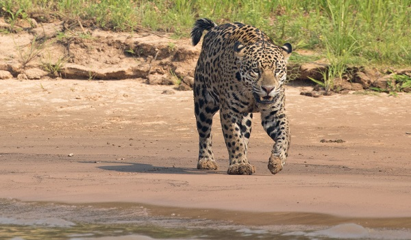 Wild jaguar in the Pantanal, Brazil