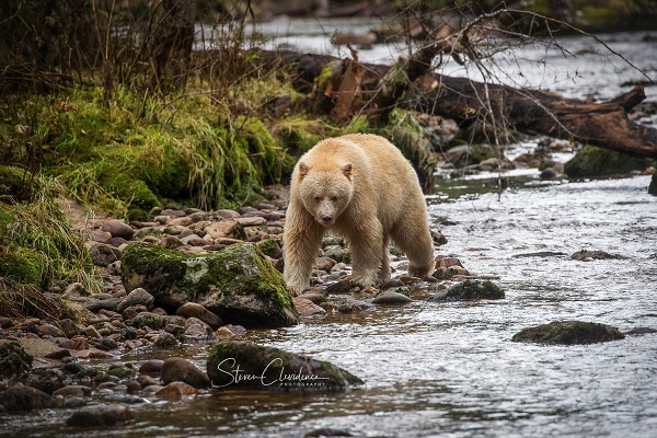 Spirit bear in British Columbia