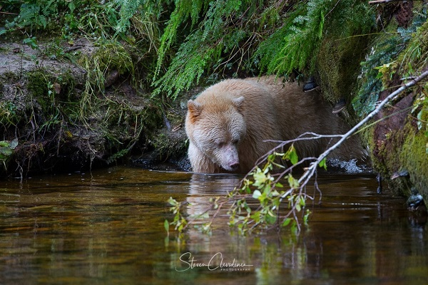 Great Bear Rainforest, BC
