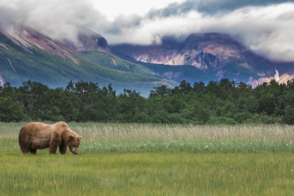 Wild Alaskan grizzly bear