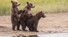 Traveler Photos: Grizzly Bear Families in Alaska