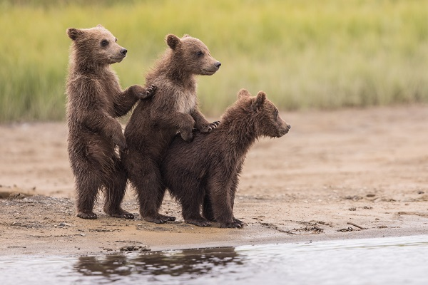 Bear cub trio in Alaska
