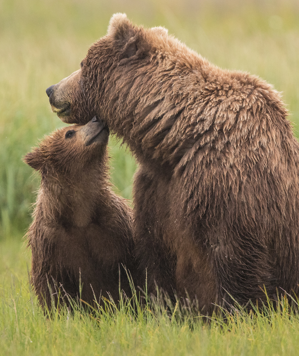 Grizzly bear cub and sow