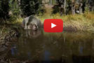 Video: Yellowstone Bear Bathtub