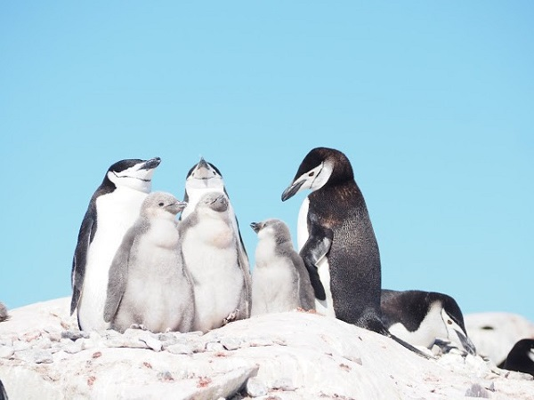 Penguin family in Antarctica