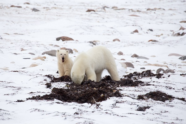 Polar bears scavenging