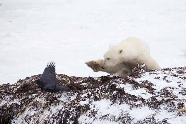 Polar bear pawing at a crow