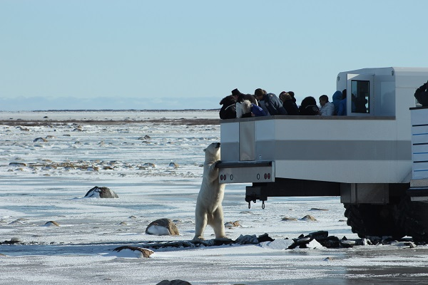 Polar bear at Polar Rover