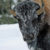 Wildlife Photo of the Week: Frosty Bison