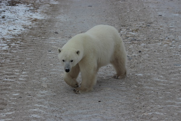 Polar bear crossing the tundra