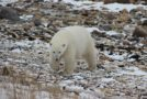 Traveler Story: Up Close with Polar Bears