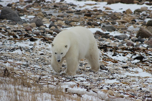 Polar bear wandering the tundra