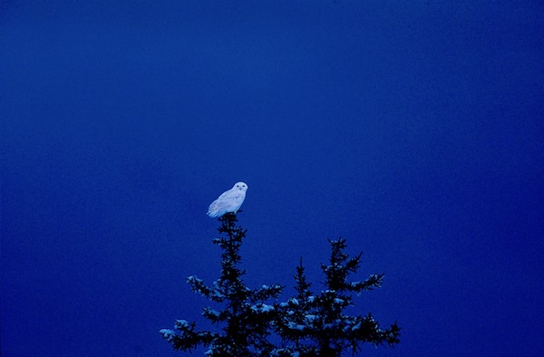 Snowy Owl perched on top of pine tree
