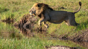 Carnivore Stories from Botswana