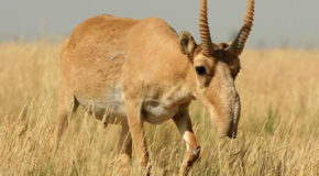 Saiga Antelope Now Victims of Climate Change
