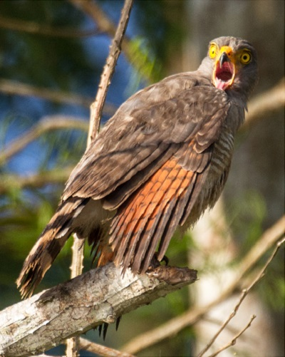 Startled hawk in the Amazon