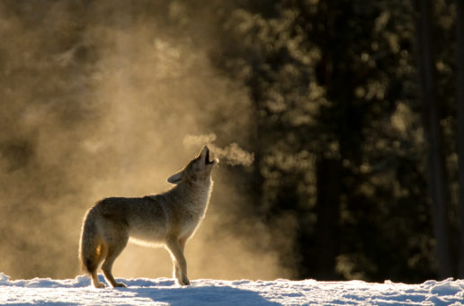 Wildlife Photo of the Week: Classic Howling Coyote
