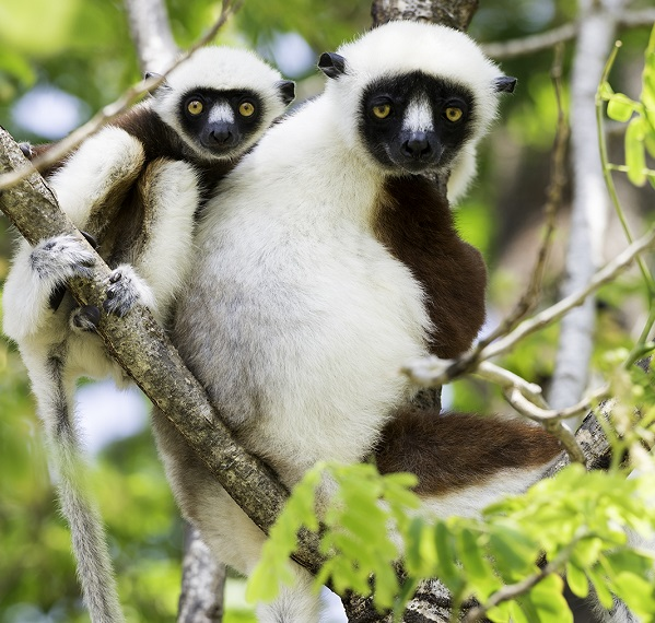 Coquerel's sifaka mother and baby
