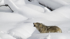 Wildlife Photo of the Week: Howling