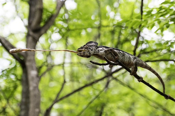 Chameleon catching an insect with its tongue
