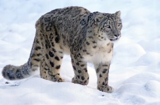 Snow Leopards and Sacred Mountains: Buddhist Monks Lead the Way in Conservation