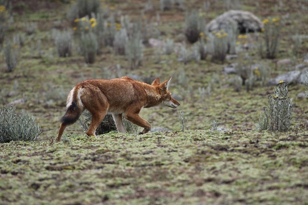 Ethiopian wolf in the wild