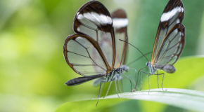 Wildlife Photo of the Week: Glass Butterflies