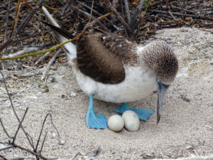 Egg turn: Blue-footed booby