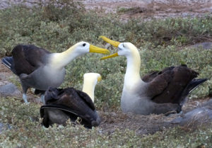 Fencing for a mate: waved albatross