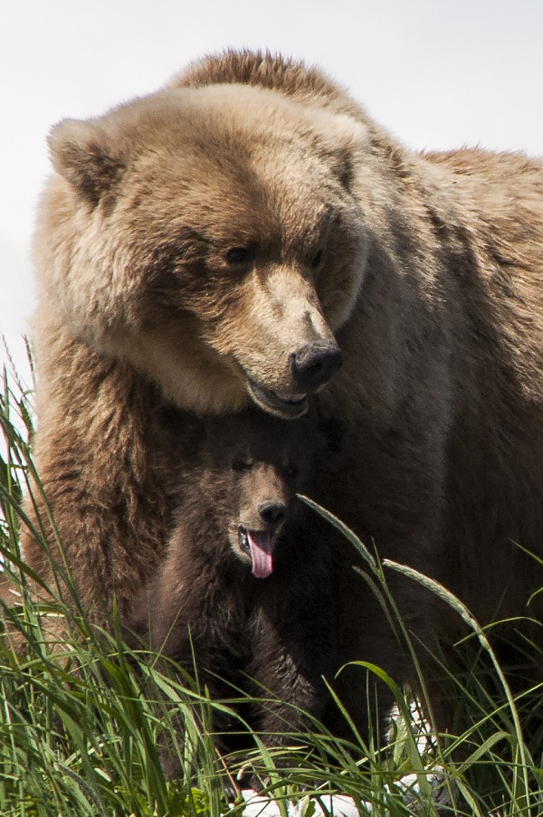 Coastal grizzly bear mother and cub in Alaska