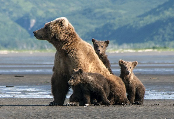 Wild grizzly bear mother and cubs in Alaska